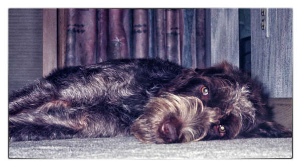 wirehaired pointing griffon phoyo