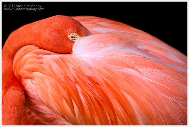 flamingo on black background