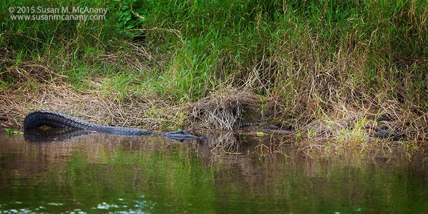 alligator, babies