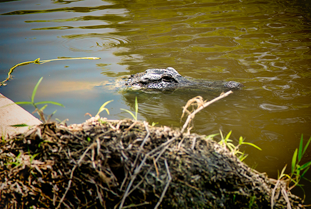 adult alligator in Myakka River Florida