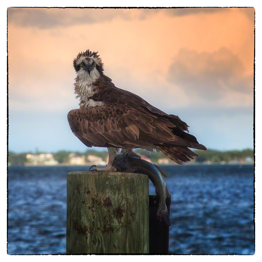osprey with fish on piling